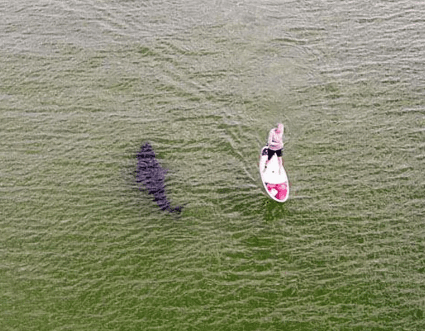 White shark swims past SUP