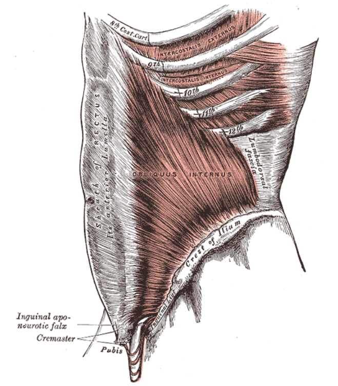 Detailed abdominal muscles, the obliques