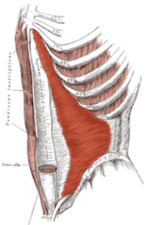 Detailed sketch of abdominal muscles, transverse abdominis